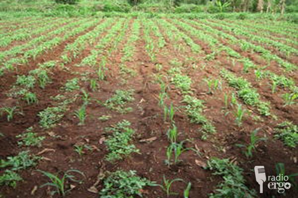 Somaliland Farmers Distressed By Insects Destroying Crops In Salahley
